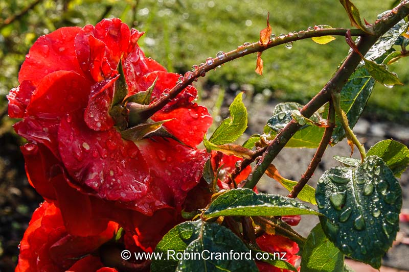Red rose covered in rain drops in the garden.