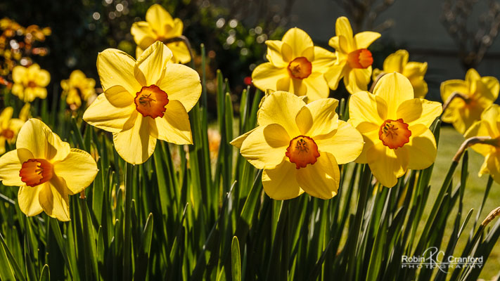 Yellow daffodils glowing in the sunshine.