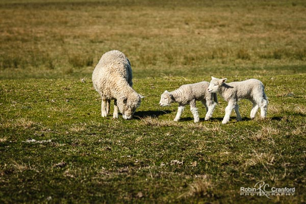Twin lambs with their mother in Hawke's Bay.
