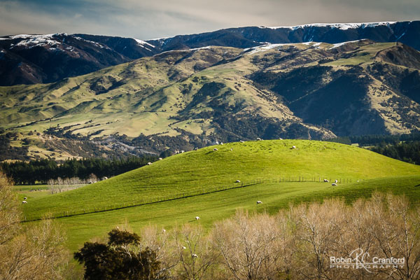 Green rolling hills with sheep & snowy mountain ranges.