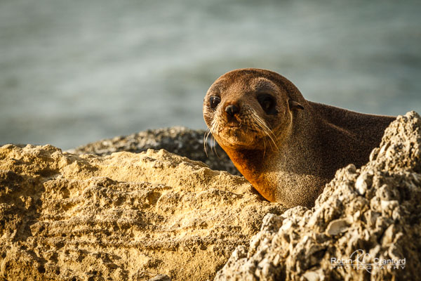 A baby New Zealand fur seal (kekeno) relaxing in the warmth of the winter sunshine at Westshore.